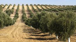 Moderna coltivazione a filari, la sola oggi competitiva. Il progresso tecnico moltiplica in modo esponenziale la produzione