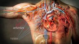 Il cuore le arterie le vene