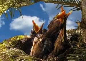 Un nido di piccoli merli: avranno come da millenni il cibo che attendono.