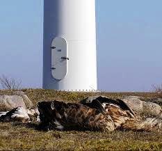 Rapace ucciso da pale eoliche (visibile la base di un elemento di un parco eolico)