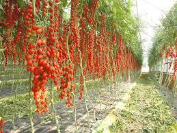 Pomodorini: anche le quantità odierne erano impensabili un tempo...