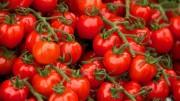 I pomodorini di Pachino sono il risultato della sintesi di antiche qualità autoctone, anche se c'è chi lo nega. I detrattori, anch'essi fra i nemici di questo prelibato prodotto, non mancano mai...