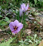 Crocus sativus, la preziosissima pianta di zafferano della stessa famiglia ell'Iris.