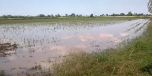 No, non è una risaia, è un campo coltivato allagato dalla pioggia...