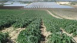 """Coltivazioni a pieno campo (carciofo) e in serra. La Sicilia, regione più """"vitata"""" al mondo è la maggior produttrice d'Italia di ortaggi e l'Italia è la maggior produttrice d'Europa."""