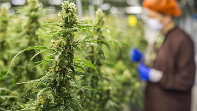 """Cannabis matura con lunghe infiorescenze dove si annida la sostanza allucinogena. Si noti che il """"giardiniere"""" porta la mascherina protettiva. Probabilmente non assume cannabis..."""