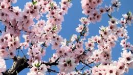 Fra pochi giorni il mandorlo tornerà puntualmente a fiorire Sicilia. La sagra del mandorlo quest'anno è già in calendario ad Agrigento.
