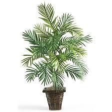 La comunissima Kenzia, una delle più frequenti piante da appartamento, una delle più regalate.