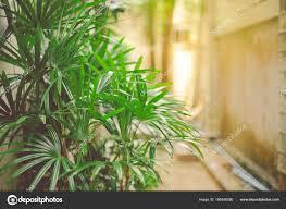 La Palma di bambù èelenacata fra le10 piante da appartamento più salutari.