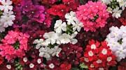 Fiori di Verbena, pianta  ornamentale,da regalare, poetica (Madame Butterfly)