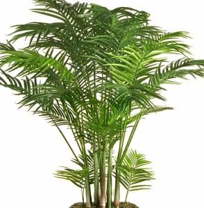 a Areca è una vera palma che in terra raggiunge proporzioni da albero. Anche in casa, ben tenuta, cresce ininterrottamente anche se non velocemente...