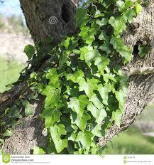 """Un'edera arrampicata attorno al tronco d'olivo, immagine non rara in Sicilia: """"dove mi appoggio muore"""", ma non sempre è vero..."""