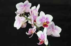 Un'orchidea comune in vendita (viene dalla serre siciliane) rifiorisce anche più volte in casa...