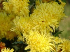 """A torto penalizzato come """"fiore dei morti"""" il Crisantemo è molto bello ed considerato altrove """"simbolo del Sol""""."""