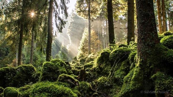 Non è la Foresta Nera ma il  Bosco del Cansiglio, caro e utile alla Repubblica di Venezia. Può produrre un'alta percentuale di faggi l'anno senza impoverirsi. In questi anni  si è reso necessarioilprelievo di querce in Italia meridionale. Il legno è stato sfruttato per mobili (rovere) e per fare calore.