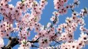 La puntuale fioritura del mandorlo e poi del pesco e del ciliegio è segno della poca variazione climatica, anche se fosse in atto...