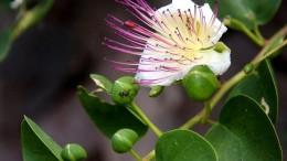 Un tralcio con capperi in bocciolo (edbili dopo opportuna salatura e dissalatura) eun cappero in fiore