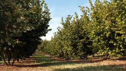 Piantagione di nocciole (noccioleto) in Sicilia.  L'impegno di coltivazione è particolarmente concentrato nel  tempo. Si dice che richieda l'equivalente di un mese di lavoro distribuito nel corso dell'anno.