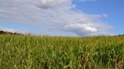 Li chiamano corn-fields. Insomma, ...su un campo di mais qual dirvi non so, un giorno il Canada ci avvelenò...