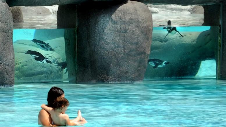 Un bagno fra i pinguini (in acquario dietro un vetro,una trovata del parco Zoom presso Torino.