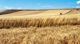 """Campi di grano in Sicilia. Non sarà il Texas, né l'Ucraina, ma la qualità, nell'antico granaio dell'Impero Romano, è sempre al top. Il grano duro siciliano è fra i più buoni, ma soprattutto il più """"affidabile"""" del mondo."""