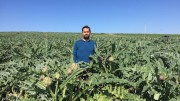 Un giovane imprenditore agricolo fra i carciofi di Sicilia. Spinosi o violette, ma anche senza spine, sono considerati i più gustosi in commercio. La Sicilia primeggia nella cultura biologica e nella biodiversità.