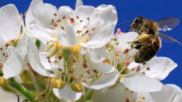 Un'ape sugge il polline da una 'zagara' di siepe.