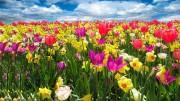 Un campo fiorito di narcisi e tulipani fotografato di recente. No: la primavera è sempre uguale a se stessa.